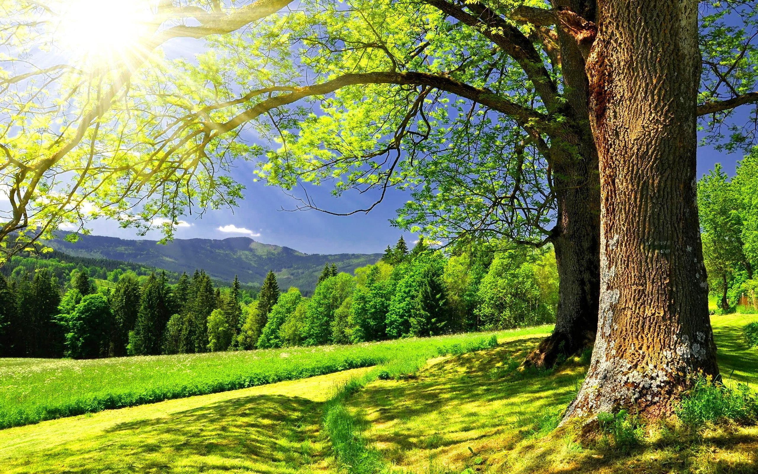 большое дерево без смс